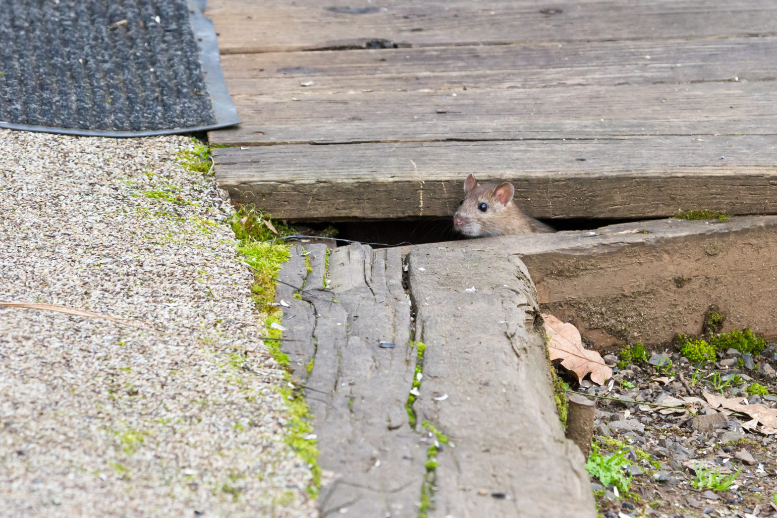 rats living under decking