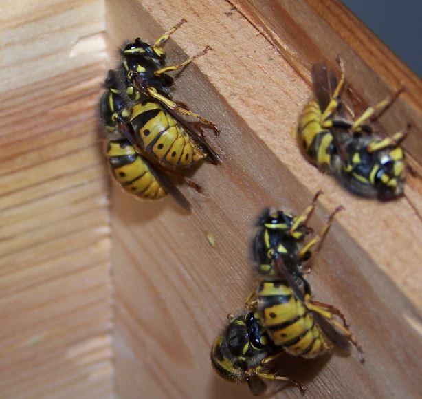 Hibernating queen wasps
